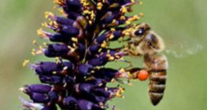 Ape su Amorfa frutticosa